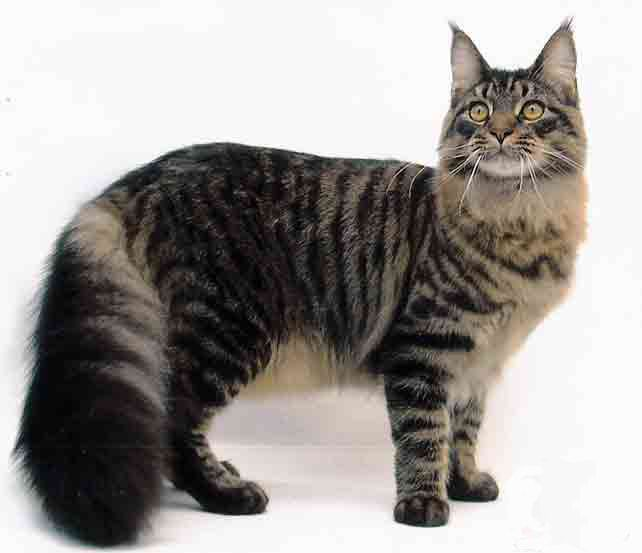 Maine Coon: Funny Kitty, The Maine, Kitty Cat, Pet, Cat Photo, Maine Coon Cat, Photo Galleries, Cat Breeds, Mainecoon