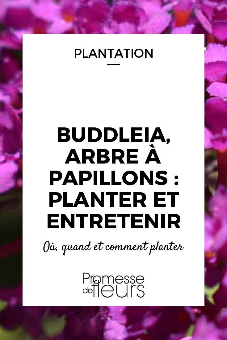 Le Buddleia ou Arbre à papillons est un arbuste à superbe floraison. Suivez les conseils de notre expert jardin pour bien le planter et l\'entretenir.
