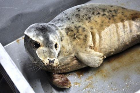 L'Océarium du Croisic recueille un jeune phoque