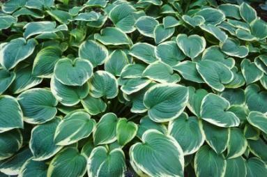 Fall Care for Hosta Plants