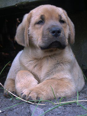 danish broholmer! sooooo cute because looks like a mix of the color of our german shepherd missy, and the face of our old labrador romeo <3