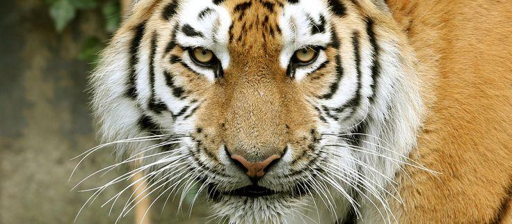 Ein sibirischer Tiger