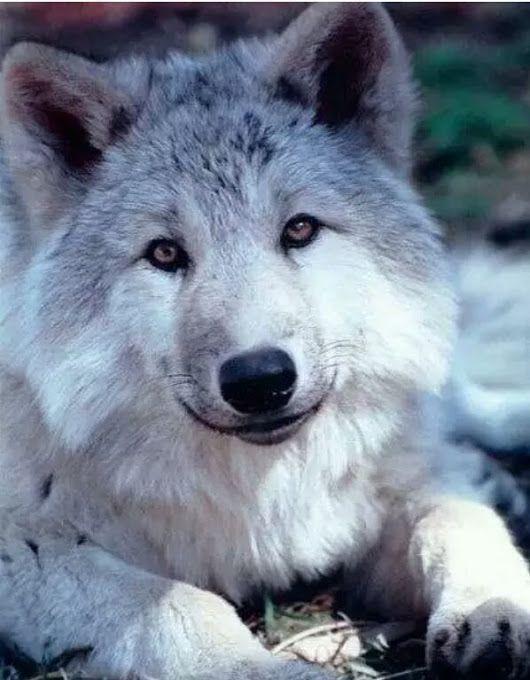 loup gris magnifique <3