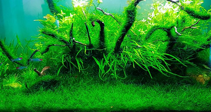 Java moss carpet. Photo by Aquascape Aquarium.