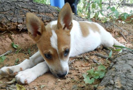 Tiny the Chihuahua / Pomeranian / Jack Russell Terrier mix