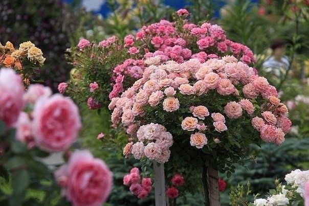 Важные советы по созданию розария!    1. Когда вы прорабатываете цветовое решение на бумаге, помните, что фоном для цвета розы служит белый лист, даже если вы добавили вокруг зеленого цвета. В пр…
