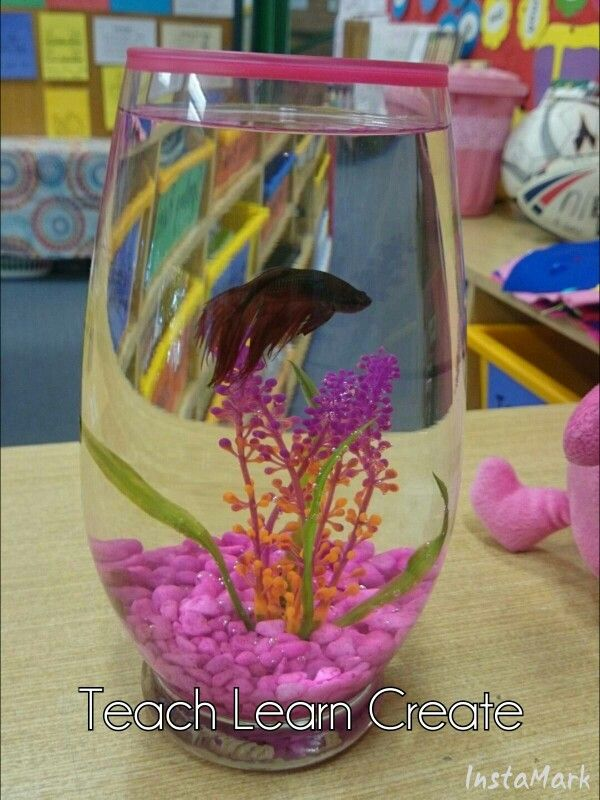 Our new class PET  A Siamese Fighting Fish The students named Spike!