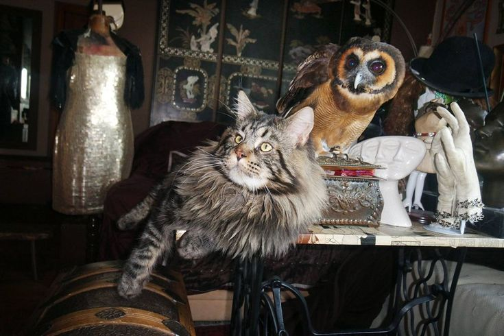 Lopja a bugyikat és megőrül a plüssökért – bemutatjuk Sophie-t a macskaként élő baglyot