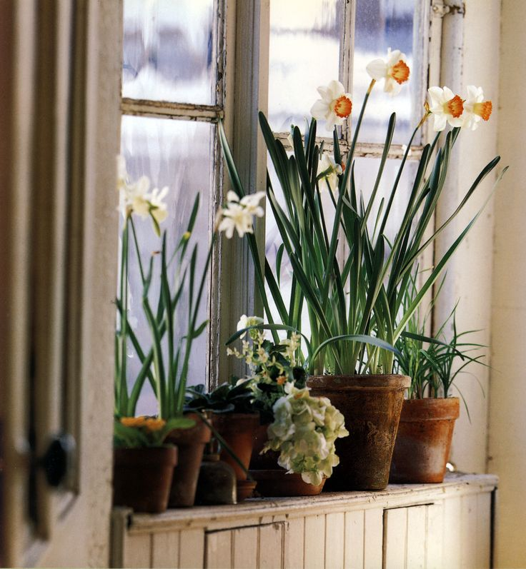 Forced Jonquils And Daffodils Inside.