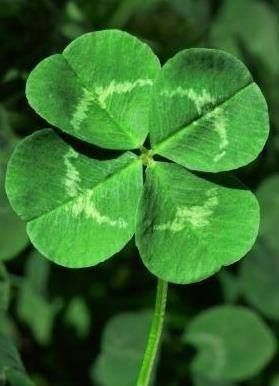It is estimated that for every one 4 leaf clover there are about 2,500 three leaf ones. There are 5 leaf clovers, but these are much rarer.
