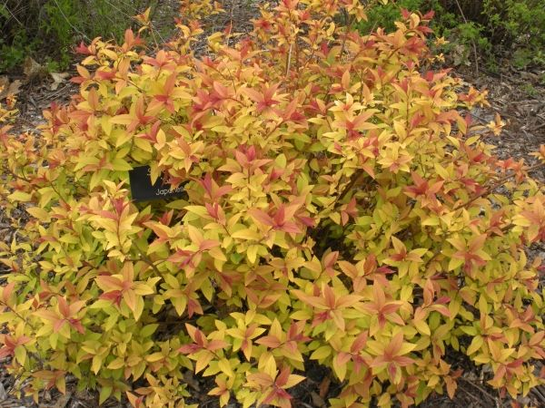 Goldflame Spirea A Low Growing Shrub Of 2 5 With Attractive Red Orange Leaves In Spring Maturing To Yellow Tips And Pink Flowers Ear