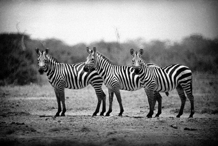 george_rodger_zebras_640x480.jpg (715×480)