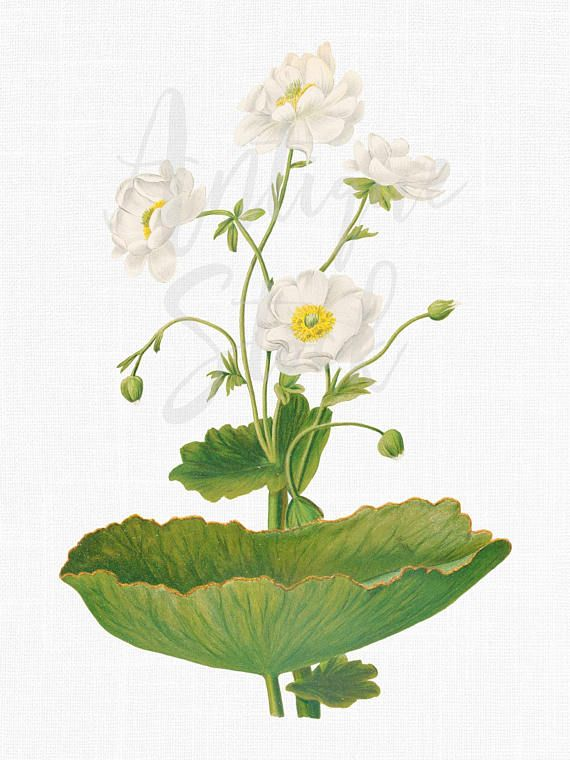 White Flowers Printable Mountain Buttercup Botanical Illustration