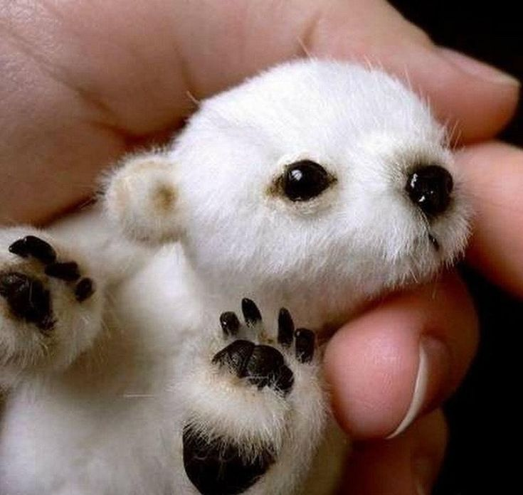 The Cute tiniest polar bear....(click on picture to see more)