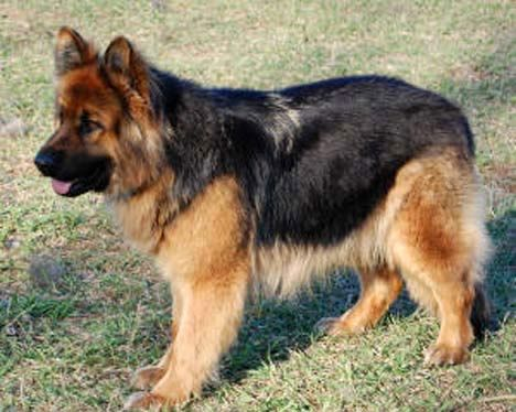 Long Haired German Shepherd? I'll take two- this one and one darker than her!
