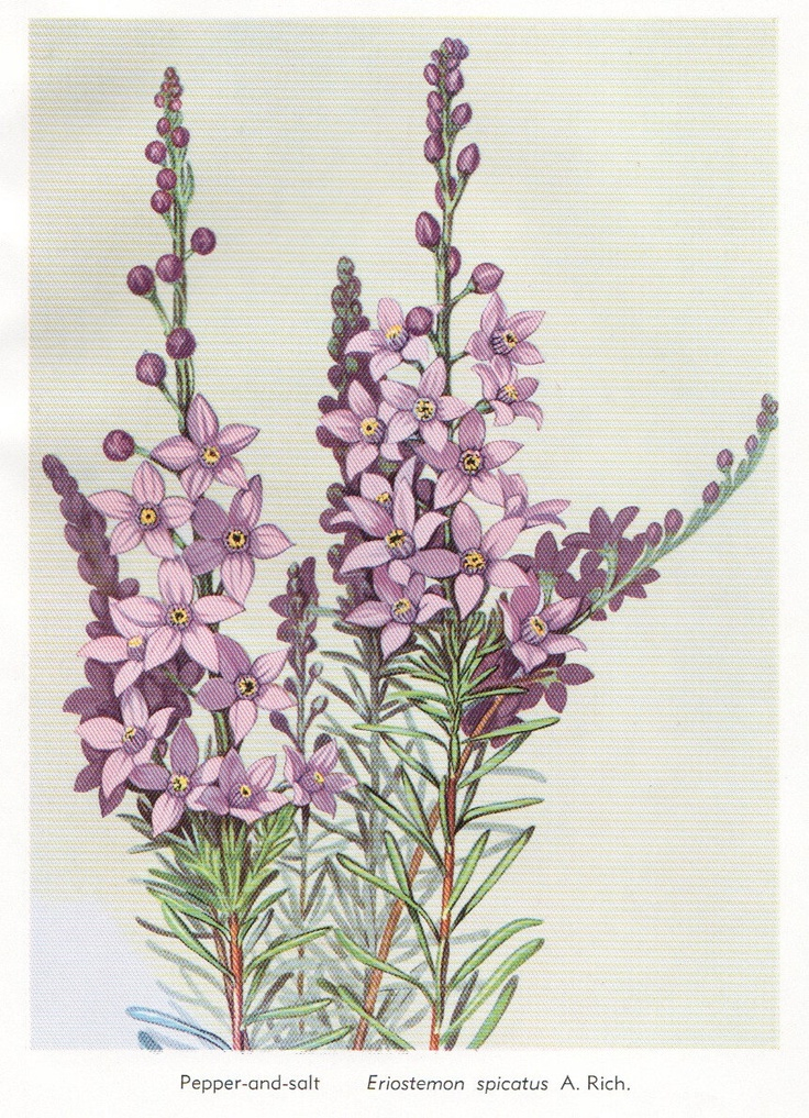 flower print Australian Wild flower print botanical print purple lilac flower illustration flower decor. $14.95, via Etsy.