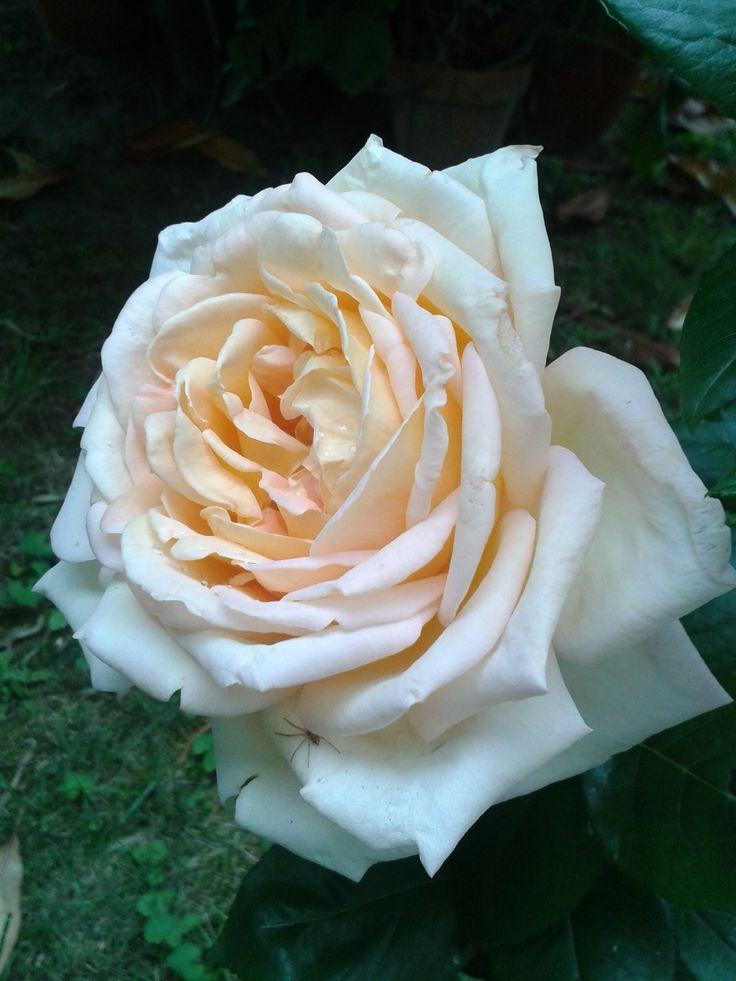la regina del giardino....con un ospite misterioso su un petalo!