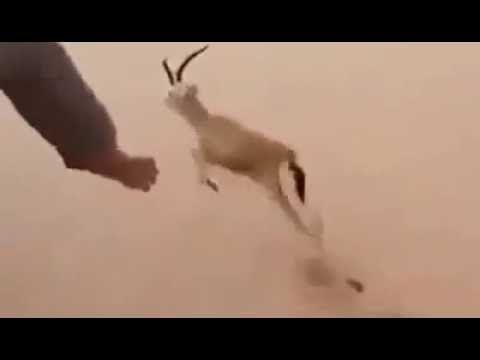 Best Hunting Times | Arabic  Deer Hunting  |  Deer Hunting By Hand