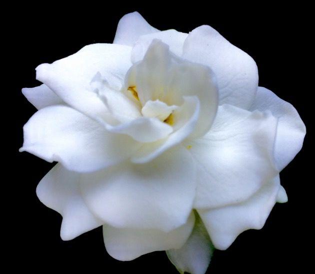 Fiori Bianchi Profumati.Gardenia Fiori Bianchi White Flower Fiori Profumati Fiori Per