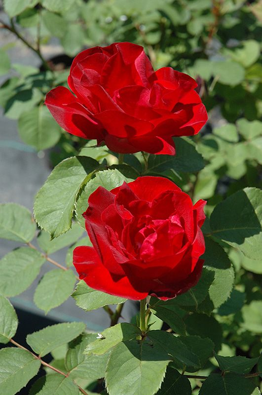 Emily Carr Rose (Rosa 'Emily Carr') at Salisbury Greenhouse and Landscaping