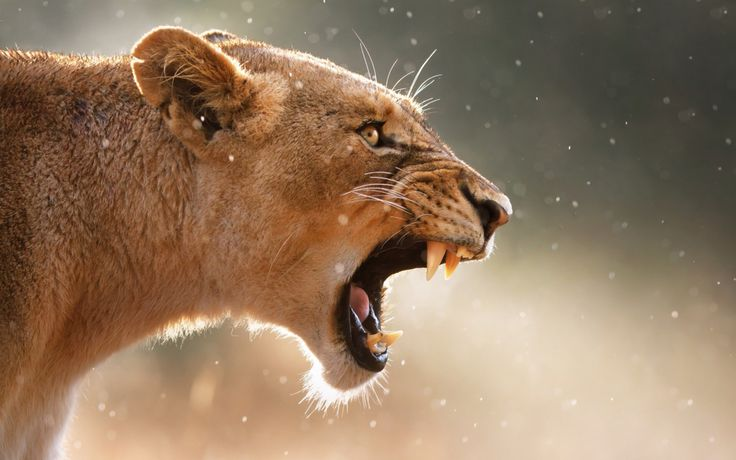 Female Lion Roaring