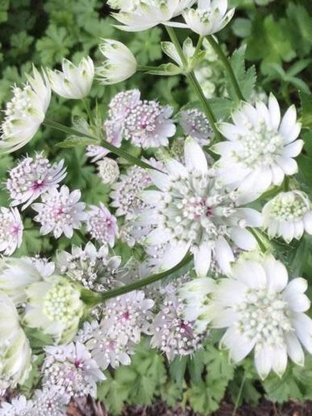 BOTANICAL NAME: Astrantia major 'Star of Billion'AVERAGE MATURE HEIGHT: 55-60 cmAVERAGE MATURE SPREAD: 45-60 cmSUN EXPOSURE: Full sun to partial shadeFLOWER COL