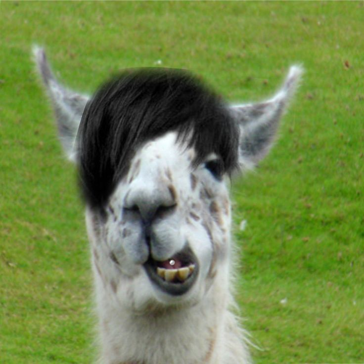 You Re Amazing Animals: 17 Best Images About Drama Llama On Pinterest