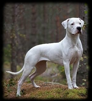 Dogo Argentinos- We want this dog!#Repin By:Pinterest++ for iPad#