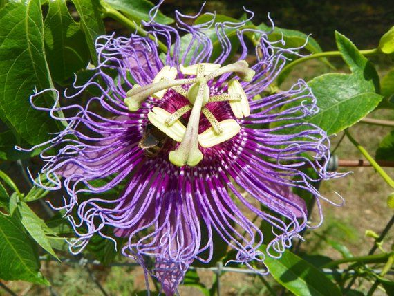 Passiflora Incense Maypop Passiflora Incarnata X Passiflora Passiflora Purple Flowers Wonderful Flowers