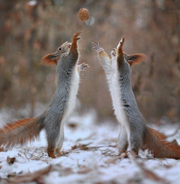 insolite ecureuil noix