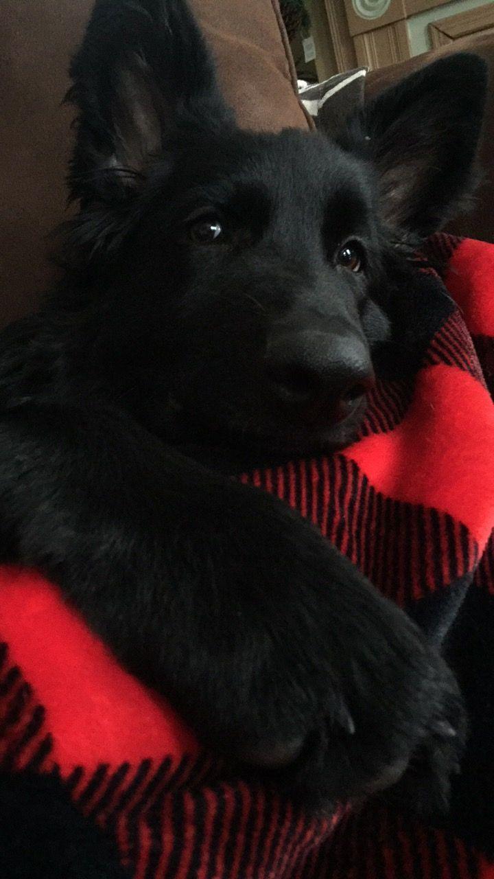 4 month old black German shepherd puppy #germanshepherdpuppy