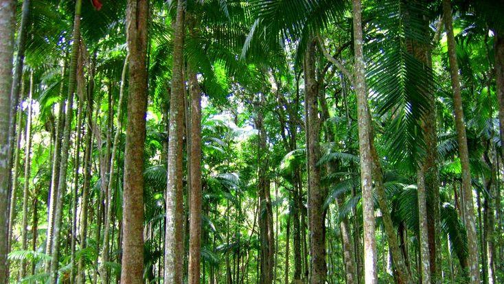 Tropical Rainforest Trees - wallpaper.