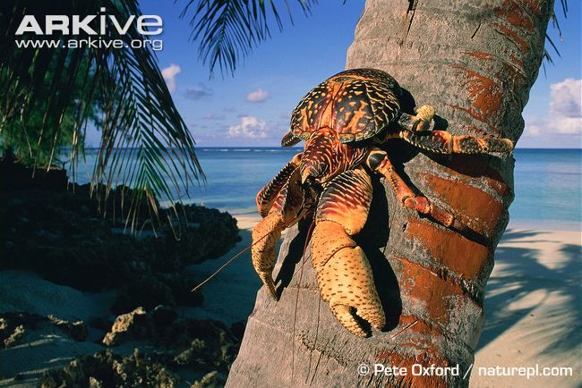 The coconut crab (Birgus latro) is a type of land hermit crab with a spectacular appearance and intriguing biology. Able to grow to relatively gigantic proportions, the coconut crab is probably the...