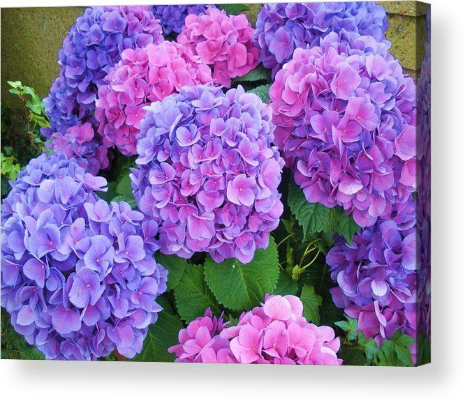 Lavender On My Mind Acrylic Print By Jeanette Oberholtzer In 2020 Hydrangea Painting Hydrangea Picture Beautiful Flowers