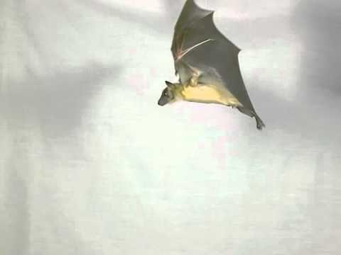 Bats in Slow Motion Video