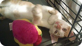 Whitestone, NY - Domestic Shorthair. Meet Cornflake-, a kitten for adoption. http://www.adoptapet.com/pet/17352955-whitestone-new-york-kitten