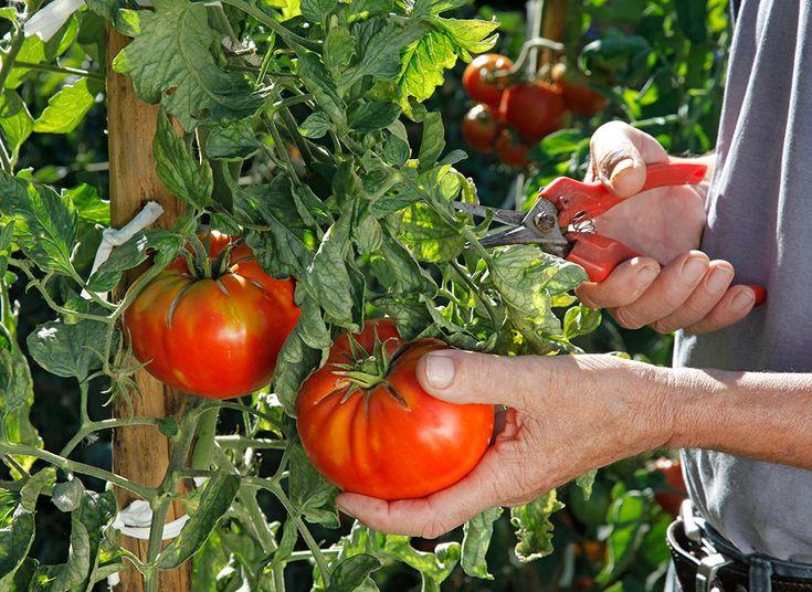 comment tuteurer et tailler les pieds de tomates tomatoe. Black Bedroom Furniture Sets. Home Design Ideas