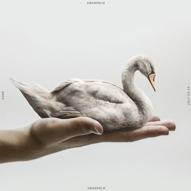 Swanpalm