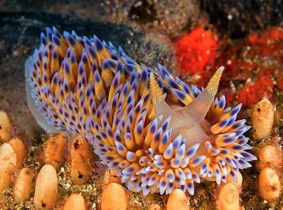 Gas Flame Nudibranch (Bonisa nakaza) - Cape Peninsula (both Atlantic and Pacific) to Port Elizabeth, South Africa. They only grow to around 10 cm in length.