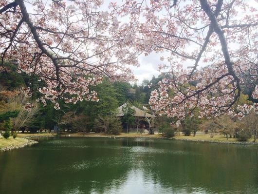 いわき市浄土庭園 白水阿弥陀堂の桜