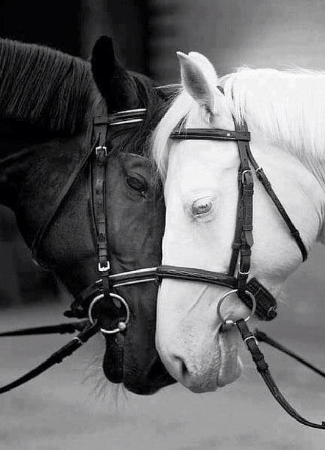 Black n white horses animals horses horse love white - Black and white love pictures ...