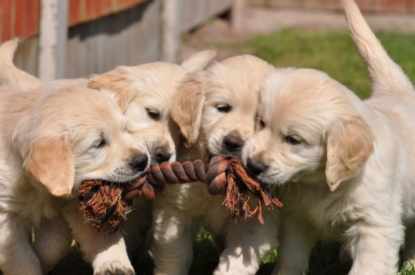 Puppy tug of war