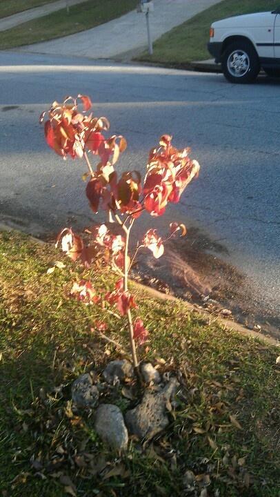 Evolution my lil dogwood tree:)