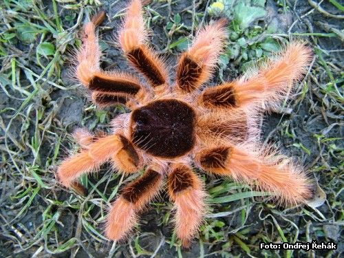 Megaphobema robusta - adult male What a handsome man! I've never seen a prettier male tarantula!