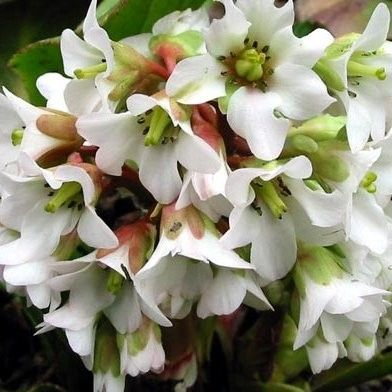 Buy Bergenia Bressingham White | Coblands.co.uk