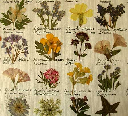 Article & Inspiration- 'The Art & Science of the Herbier', A fascinating article on the history of & renewed interest in the subject- with the added bonus of having beautiful photos! You could consider this practice as the genesis of flower pressing & drying! I've been wanting to get into pressing flowers for *YEARS*!! *French Gardening