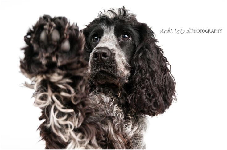 The VIP Studio - Vicki Isted Photography © www.vicki-isted.co.uk  Seren the blue roan Cocker Spaniel