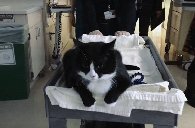 He's pawsome! Therapy cat named after jazz legend Duke Ellington brings joy to critically ill patients at a California hospital