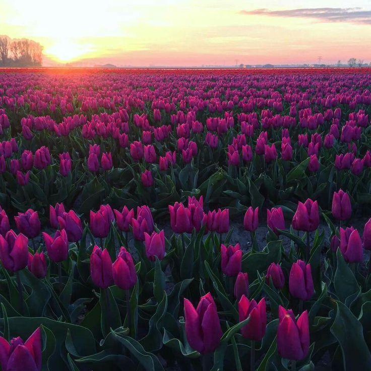 Tulpen vlakbij Ooltgensplaat