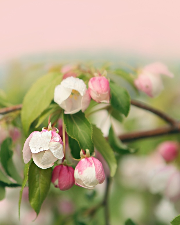 ~ apple blossoms